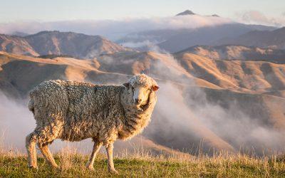 Merino Wolle – Die Geheimnisse eines Wundergewebes
