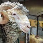 Male Merino sheep sheep Australian Sheep shearing farm in Queensland, Australia.