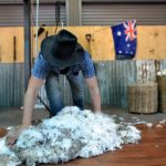 QUEENSLAND, AUS - NOV 04 2014:Australian Sheep shearer during work in Queensland, Australia.Australia have mainly Merinos Wool. Each year over 150 million sheep are shorn by the shearers in Australia.