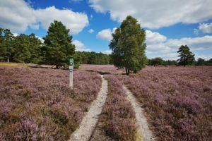 Schöne Heideflächen auf dem Heidschnuckenweg. Ruhiges Wandern auf schönen Wegen.