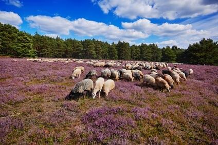 Etappe 11 auf dem Heidschnuckenweg. Eine schöne Herde Heidschnucken kreuzen den Weg.