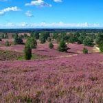 Wunderschöne Heide auf dem Heidschnuckenweg. Tag 4 imponiert durch eine wunderschöne Landschaft.