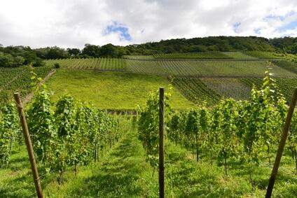 Rheinsteig Etappe 5 - durch wunderbare Weinstöcke geht es weiter nach Leutesdorf